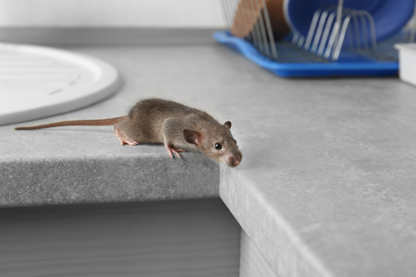 Rat on Kitchen Counter
